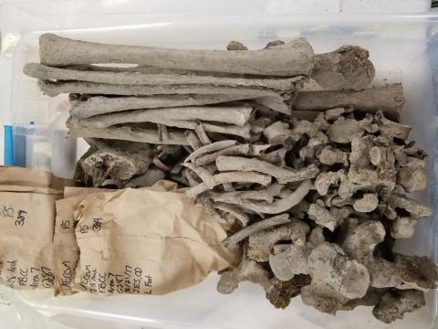 A set of muddy bones from G-287, an adult male,  waiting to be dry- and wet-brushed in the Mütter Bone Lab. The brown bags typically keep together sets of smaller bones such as those from the hands and feet.