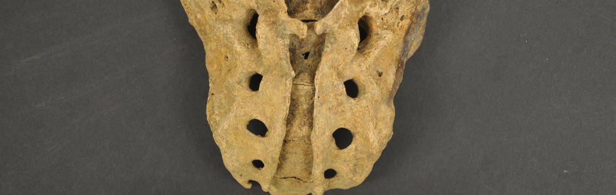 Dorsal view of adult sacrum from box RU-9 showing spina bifida